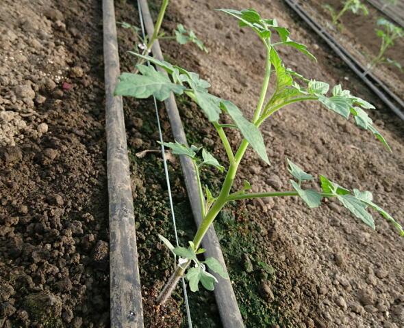 トマト生長中