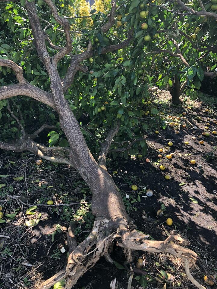 みかんの木、倒れる