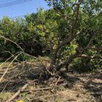 みかんの木の被害