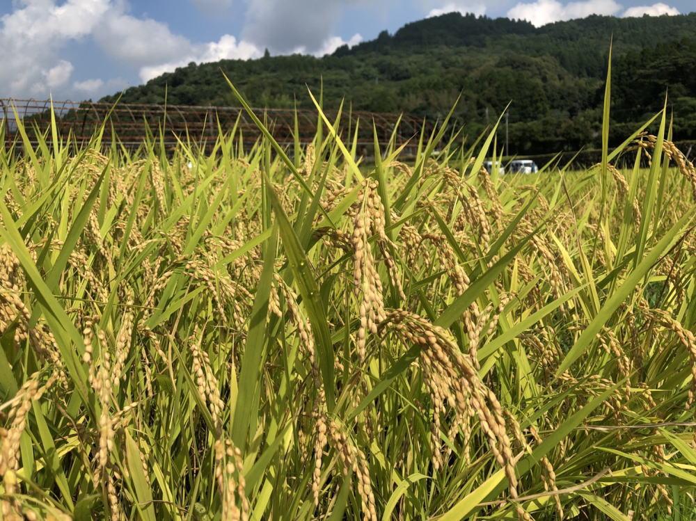稲刈り2021
